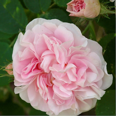 CUISSE DE NYMPHE - LARGE SHRUB ROSE / SMALL CLIMBER