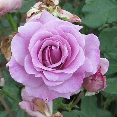 VIOLETTE PARFUMEE - SHRUB ROSE