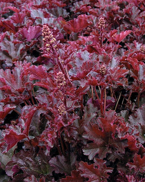 HEUCHERA CRIMSON CURLS