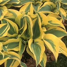 HOSTA AUTUMN FROST / ХОСТА ФРОСТ