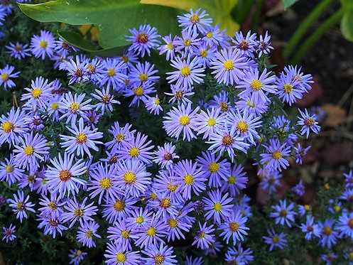 ASTER LADY IN BLUE / АСТРА ЛЕИДЙ ИН БЛУ