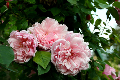 RAMBLING ROSE  - ALBERTINE