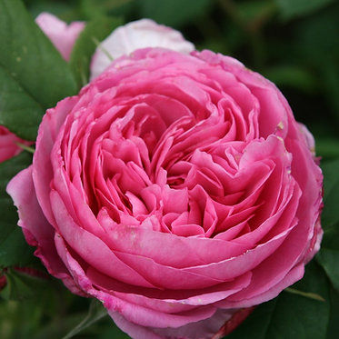 SHRUB ROSE - GERTRUDE JEKYLL