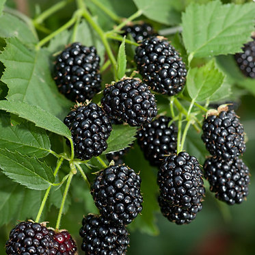 BLACKBERRY - THORNED BEDFORD GIANT - КЪПИНА БЕДФОРД ГИГАНТ