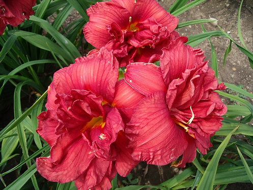 HEMEROCALLIS  DOUBLE FIRECRACKER / ХЕМЕРОКАЛИС