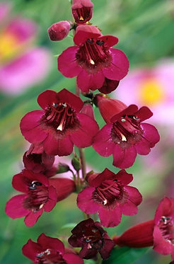 PENSTEMON RICH RUBY / ПЕНСТЕМОН