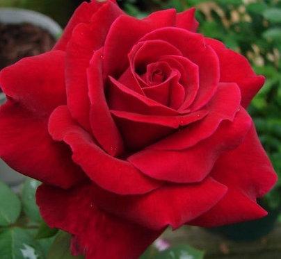 MR. LINCOLN - SHRUB ROSE