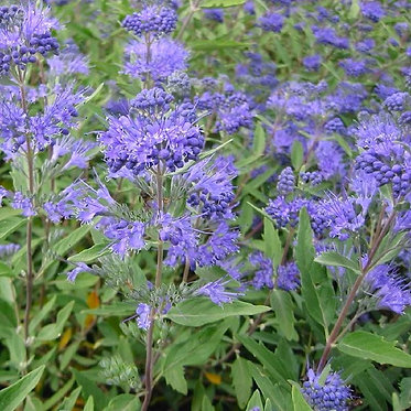 CARYOPTERIS HEAVENLY BLUE / КАРИОПТЕРИС