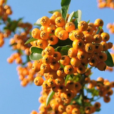 PYRACANTHA ORANGE PILLAR - ПИРАКАНТА ОРАНДЖ ПИЛАР