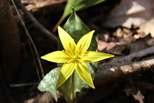 Beaked Trout Lily.JPG