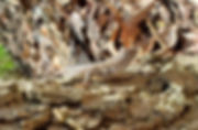 Prairie%20Lizard_edited.jpg