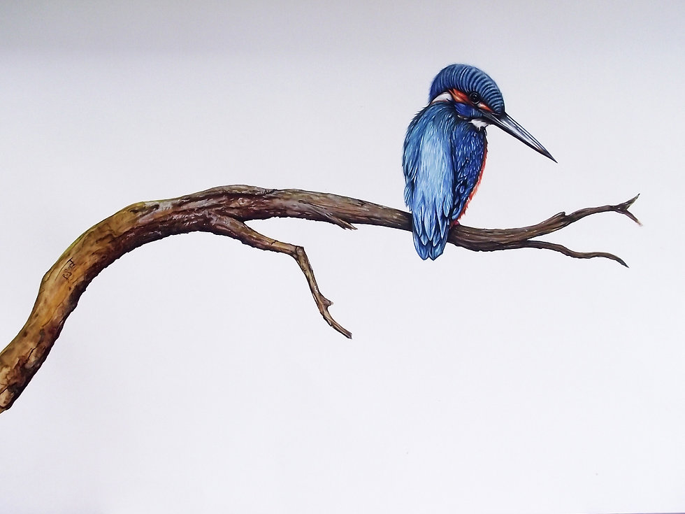 Kingfisher-2-A2-Watercolour_edited.jpg