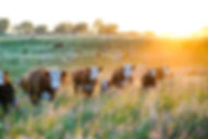 Nebraska Hereford Cattle at Sunset.jpg
