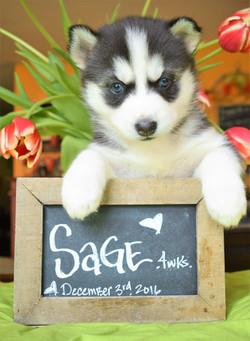 @sage.the.husky