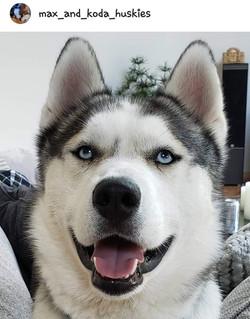 "max_and_koda_huskies ""Koda"""