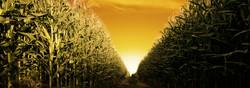 willowlanemysteriescorncrops