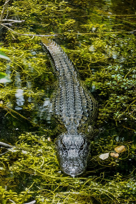 shallow-focus-photo-of-crocodile-on-body