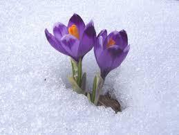 flowers in snow.jpg