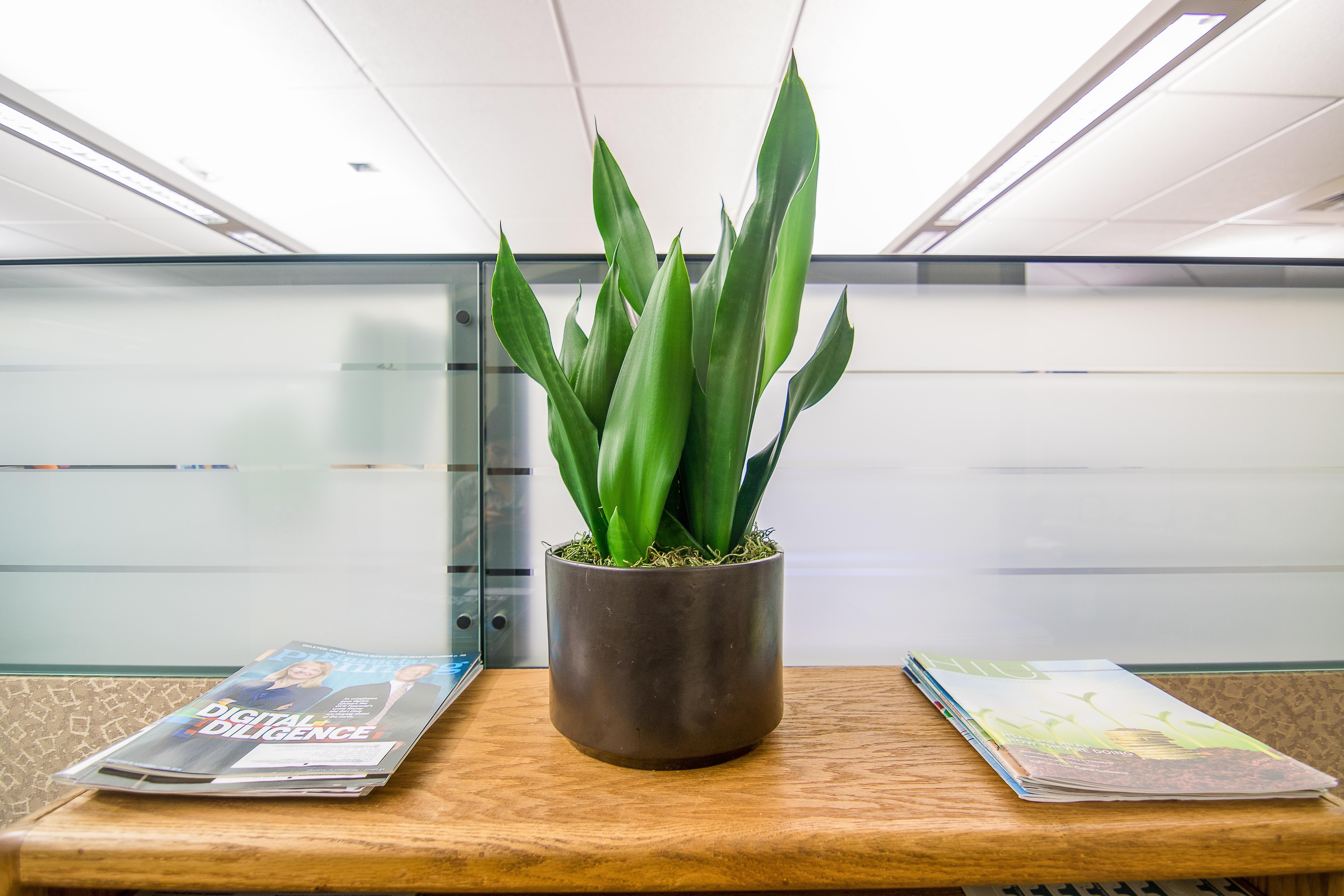AJG_Sanseveria plant