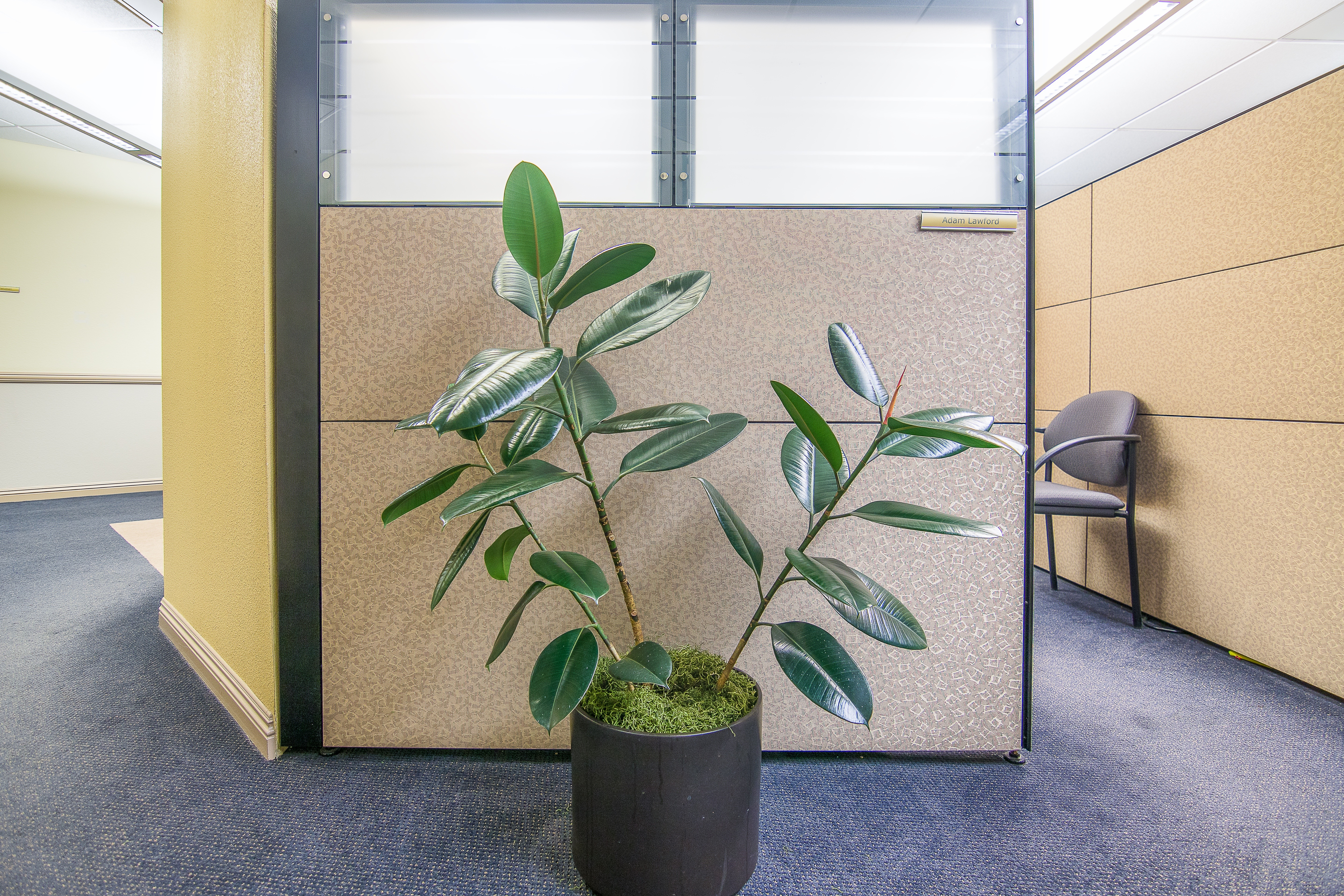 AJG_rubber tree plant