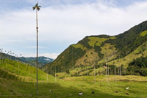 Valle del Cocora - Colombia