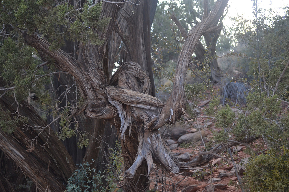 Airport Vortex trail in Sedona home to a tree that illustrates entanglement after splitting itself in interesting ways and then coming back together.  by Gahiji Akil