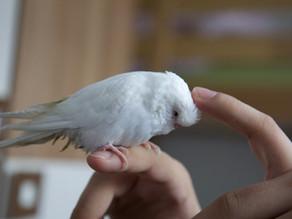 Jak naučit andulku na prst