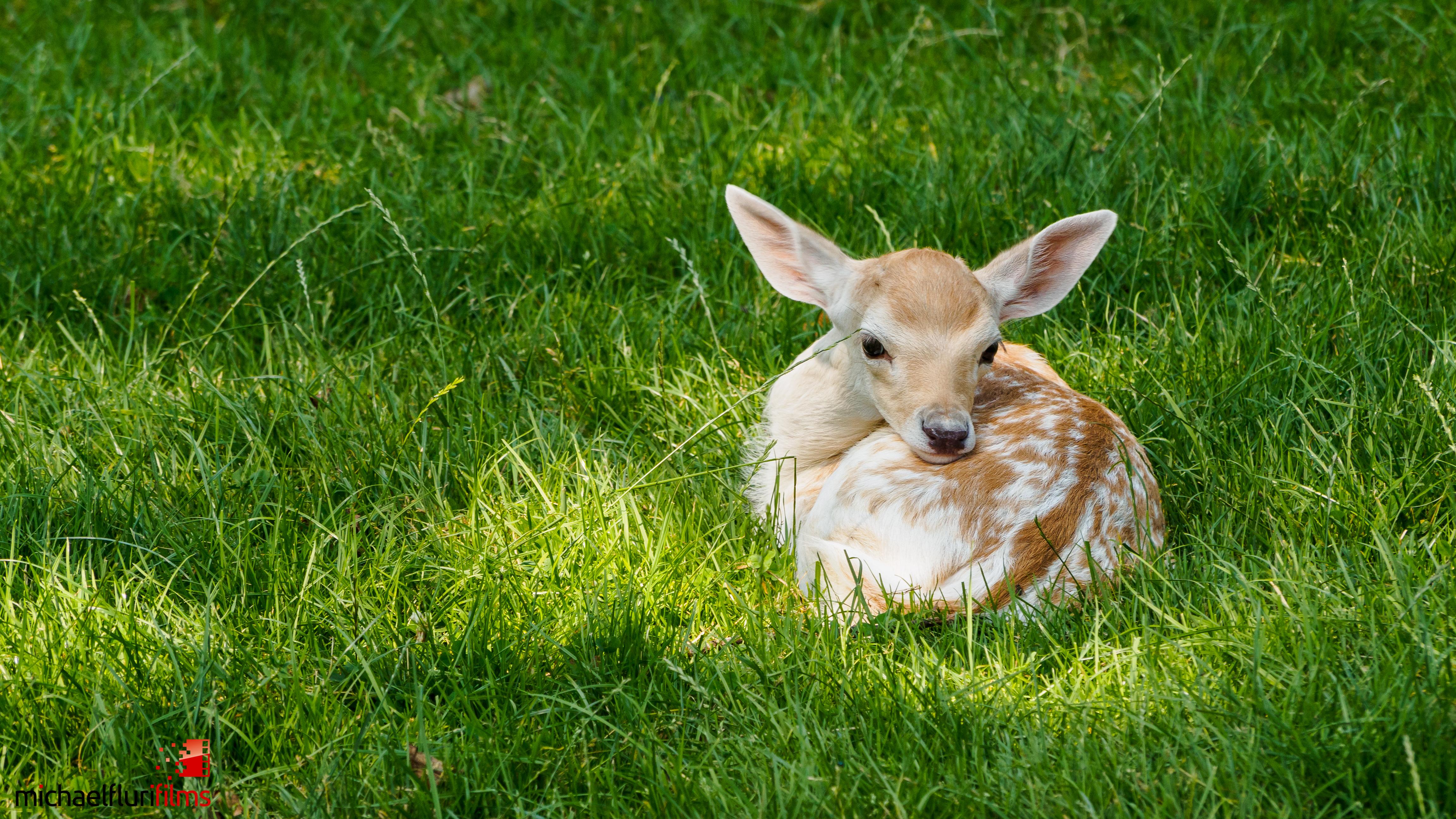 Rehkitzrettung: Rehkitz im Gras