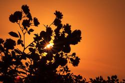Rosen und Sonnernuntergang