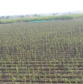 grapes farming (4).JPG