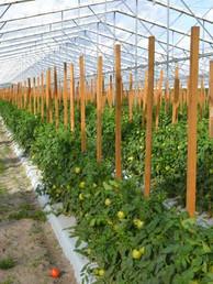 Venkateshwara Greenhouse Tomato Farming.
