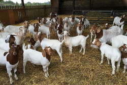 Goat-Farming1