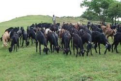 Goat Farming Venkateshwara Agro