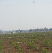 pomegranate farming.JPG