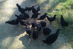 Kadaknath-Chicken