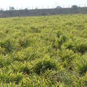 ginger farming (2).JPG