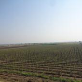 grapes farming (2).JPG