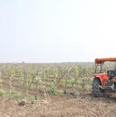grapes farming (5).JPG
