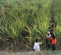 Venkateshwara Sugarcane farming.jpg