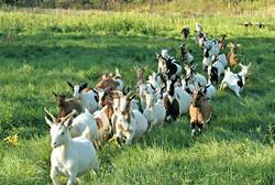 Goats-rearing Venkateshwara