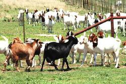 Goat farm Venkateshwara
