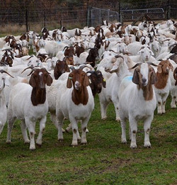 Venkateshwara Goat-Farming