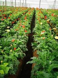 Venkateshwara Poly House Flowers Farming