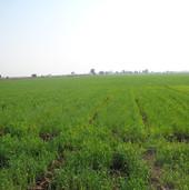 wheat farming (2).JPG