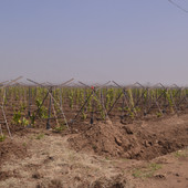 grapes farming (3).JPG