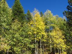 Aspen grove on the property