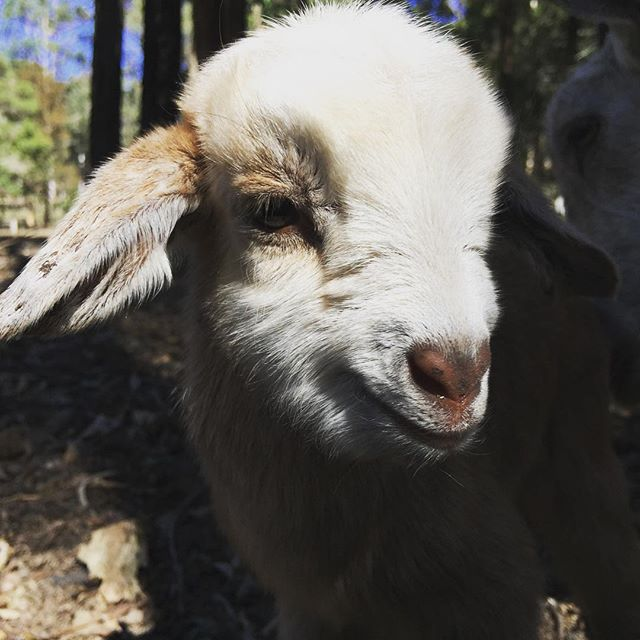 One day old #goatsofinstagram #goatkids