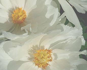 jap peonies white sSAMLL .jpg
