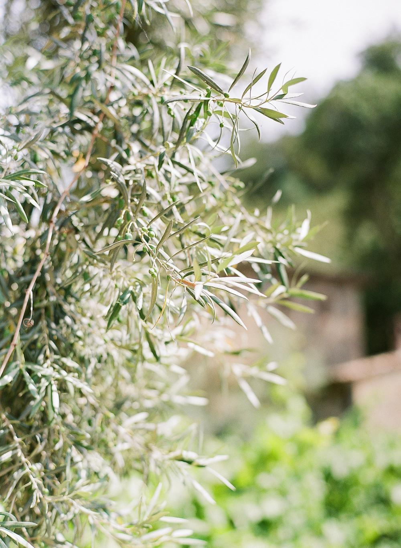 Olive tree at Castello di Amorosa winery at Napa Valley