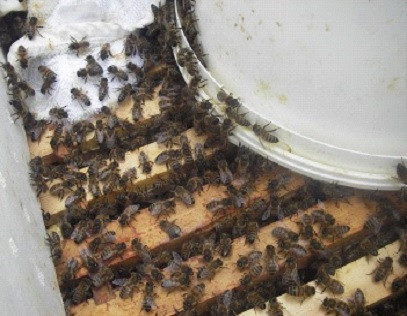 Why are bees in the media and what can we do to help them?